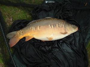 A beautiful, big, ten pound mirror carp.